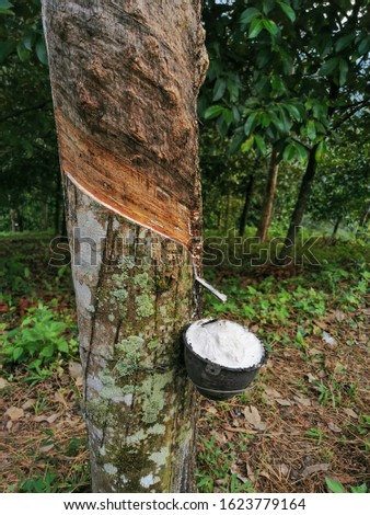 Rubber trees , Rubber plantation Background #1623779164