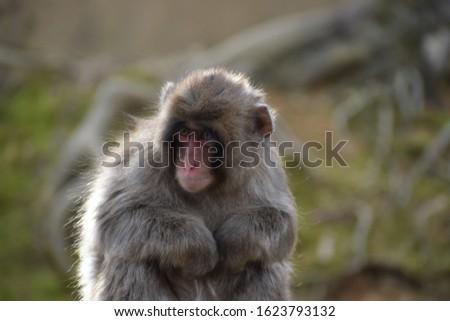 Close up of an infant Japanese macaque monkey or snow monkey in the Arashiyama Monkey Park Iwatayama in Kyoto Japan #1623793132