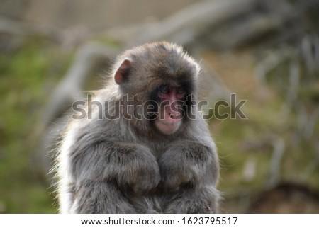 An infant Japanese macaque monkey or snow monkey in the Arashiyama Monkey Park Iwatayama in Kyoto Japan during mating season #1623795517