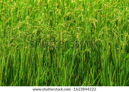 Fresh green rice fields With complete seeds With organic crab farming Which is popular for farming like this in Asia. #1623844222