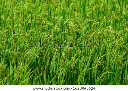 Fresh green rice fields With complete seeds With organic crab farming Which is popular for farming like this in Asia #1623845524