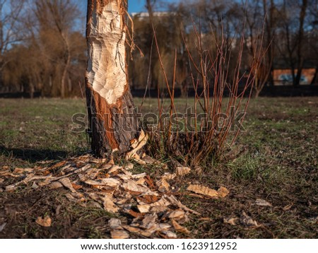 Tree attacked by a beaver that woke up in January because of warm winter. City park in Kyiv, Ukraine. Global warming effects. #1623912952