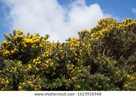 Blooming Gorse bush with yellow flowers in the lush countryside of County Kerry, Ireland, on the Dingle Peninsula #1623926968