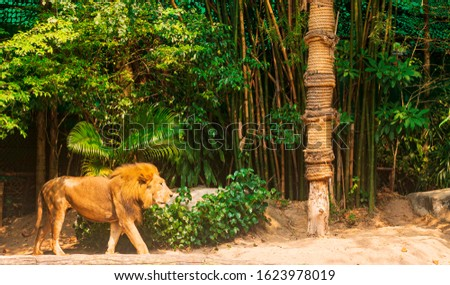 lion (Panthera leo) - Male, in the bush