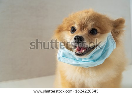 Dog wearing air pollution mask for protect dust PM2.5,Pomeranian, small breed dogs, put on a health mask,concept virus, coronavirus, protection #1624228543