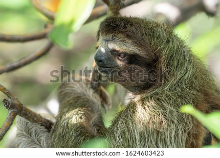 A Sloth in a tree on Sloth Island, near Bocas del Toro, Panama.
