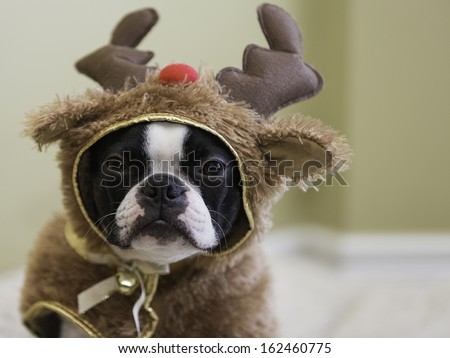 Boston Terrier in Reindeer Costume