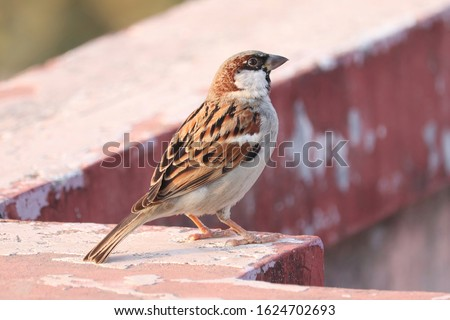 House sparrow sitting outside perched on a wall top in India. Urban birds. Tree sparrow. Passer domesticus,