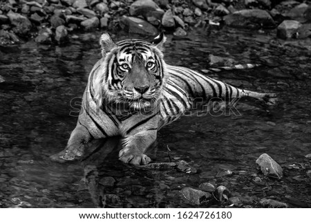 Photograph in black and white of a tiger in a pool of water.