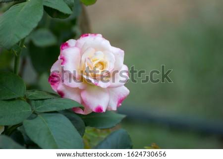 Pink rose, Lower petals white petals. #1624730656