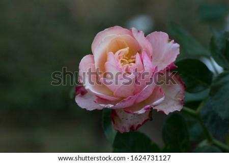 Pink rose, Lower petals white petals. #1624731127