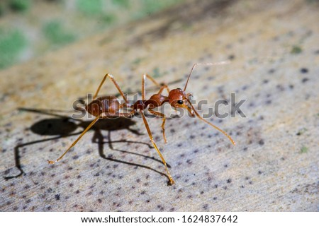Fire ant is the common name for several species of ants in the genus Solenopsis.