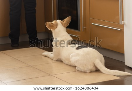 White young dog lying near stove and patiently waiting till master finish cooking canine food #1624886434