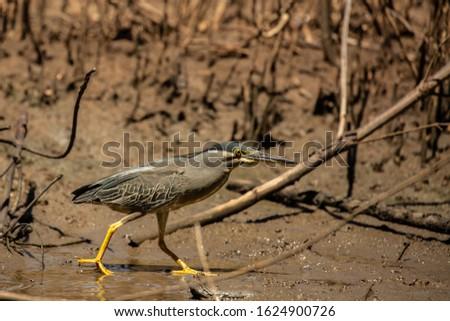 Striated Heron or mangrove heron, little heron or green-backed heron.    #1624900726