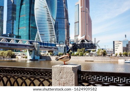 Funny duck is sitting on the fence in front of the modern cityscape with skyscrapers. Nature and urban city. #1624909582