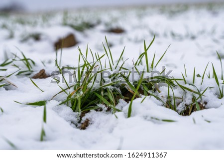 Wheat field covered with snow in winter season. Winter wheat. Green grass, lawn under the snow. Harvest in the cold. Growing grain crops for bread. Agriculture process with a crop cultures. #1624911367