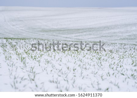 Wheat field covered with snow in winter season. Winter wheat. Green grass, lawn under the snow. Harvest in the cold. Growing grain crops for bread. Agriculture process with a crop cultures. #1624911370