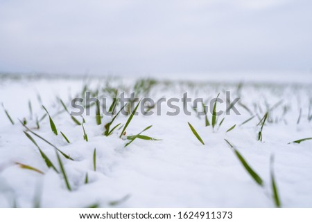 Wheat field covered with snow in winter season. Winter wheat. Green grass, lawn under the snow. Harvest in the cold. Growing grain crops for bread. Agriculture process with a crop cultures. #1624911373