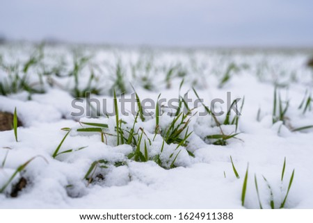 Wheat field covered with snow in winter season. Winter wheat. Green grass, lawn under the snow. Harvest in the cold. Growing grain crops for bread. Agriculture process with a crop cultures. #1624911388