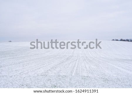 Wheat field covered with snow in winter season. Winter wheat. Green grass, lawn under the snow. Harvest in the cold. Growing grain crops for bread. Agriculture process with a crop cultures. #1624911391