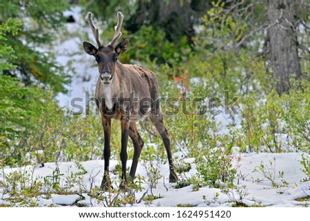 A male woodland caribou standing in a snow covered spruce forest #1624951420
