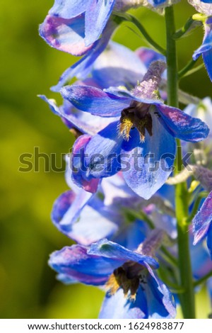 Delphinium is a genus of about 300 species of perennial flowering plants in the family Ranunculaceae, native throughout the Northern Hemisphere and also on the high mountains of tropical Africa. #1624983877