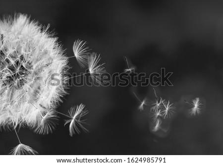 White dandelion head with flying seeds on minamalist black background Royalty-Free Stock Photo #1624985791