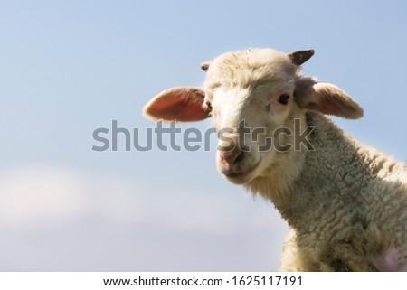 Lovely lamb portrait on a blue sky background. #1625117191