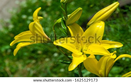 Lilium is a genus of herbaceous flowering plants growing from bulbs, all with large prominent flowers. Lilies are a group of flowering plants which are important in culture  in much of the world. #1625129173