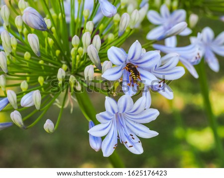 Agapanthus praecox, blue lily flower, close up. Honey bee insect carrying pollen on blossom of African lily or Lily of the Nile. Common agapanthus, popular plant, Amaryllidaceae family. Macro picture.