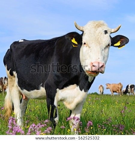 Cow on a summer pasture #162525332