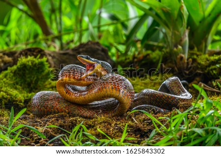 Puffing Snake - Phrynonax poecilonotus is a species of nonvenomous snake in the family Colubridae. The species is endemic to the New World Royalty-Free Stock Photo #1625843302