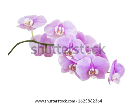Branch of a phalaenopsis orchid with pink flowers, isolated on a white background