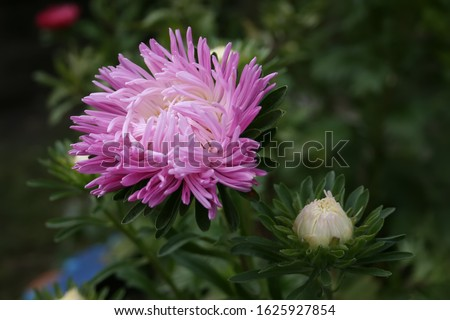 pink aster. Autumn pink aster on a blurry background. Bright pink color Asters flowers with green nature background. Asters bloom in the garden. Flowers aster close up view #1625927854