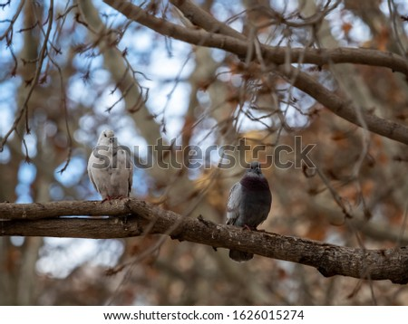 Domestic pigeon, also known as Asian brave pigeon, domestic Asian pigeon or domestic pigeon, is a species of columbiform bird of the Columbidae family native to southern Eurasia and northern Africa. #1626015274