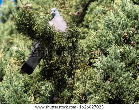 Domestic pigeon, also known as Asian brave pigeon, domestic Asian pigeon or domestic pigeon, is a species of columbiform bird of the Columbidae family native to southern Eurasia and northern Africa. #1626027025