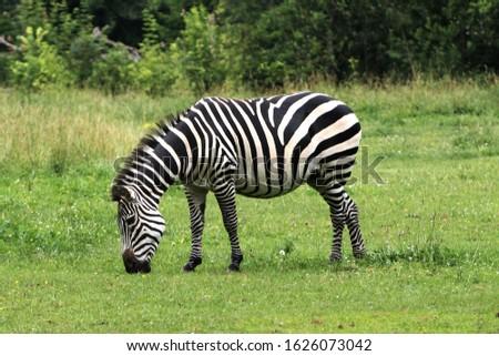 Closeup view of single herbivorous striped zebra grazing on a green grass lawn, Opole zoo, Poland Royalty-Free Stock Photo #1626073042