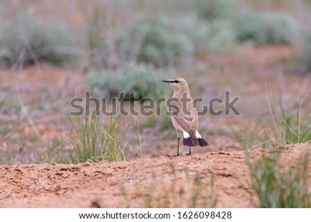 The isabelline wheatear (Oenanthe isabellina) in a typical steppe ecosystem of habitat.  #1626098428