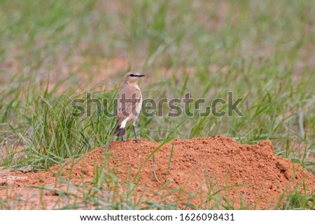 The isabelline wheatear (Oenanthe isabellina) in a typical steppe ecosystem of habitat.  #1626098431