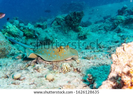 Blue-spotted Stingray on a coral reef. Indian ocean.