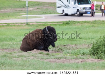 A bison bull lays in a dirt patch among grass and weeds of the South Dakota prairie in Custer State Park with people taking pictures in the background.