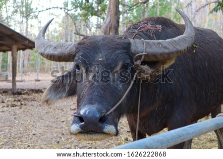 Buffalo is classified in the animal phylum with spine axis  Mammals  Is a pet that is most closely related to agriculture in Asian countries  Because farmers like to raise something. #1626222868