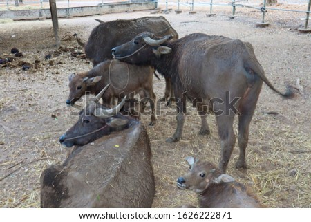 Buffalo is classified in the animal phylum with spine axis  Mammals  Is a pet that is most closely related to agriculture in Asian countries  Because farmers like to raise something. #1626222871