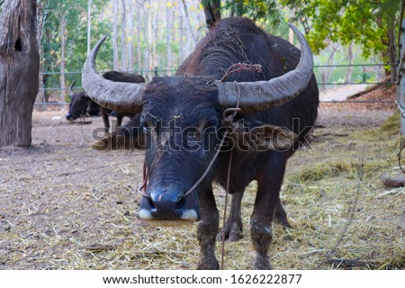 Buffalo is classified in the animal phylum with spine axis  Mammals  Is a pet that is most closely related to agriculture in Asian countries  Because farmers like to raise something. #1626222877