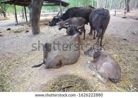 Buffalo is classified in the animal phylum with spine axis  Mammals  Is a pet that is most closely related to agriculture in Asian countries  Because farmers like to raise something. #1626222880