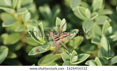 Nursery web spider (Pisaura mirabilis) is a spider species of the family Pisauridae. The stripe along the back of the body, is to scare off predators. #1626456532