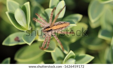 Nursery web spider (Pisaura mirabilis) is a spider species of the family Pisauridae. The stripe along the back of the body, is to scare off predators. #1626459172