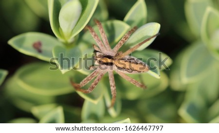 Nursery web spider (Pisaura mirabilis) is a spider species of the family Pisauridae. The stripe along the back of the body is to scare off predators. #1626467797