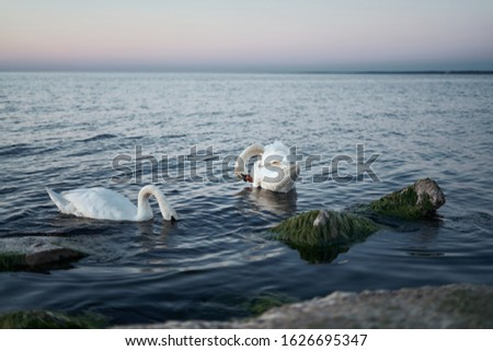 Couple of swans on the lake. Royalty-Free Stock Photo #1626695347