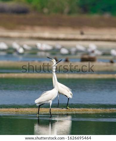 The intermediate egret, median egret, smaller egret, or yellow-billed egret is a medium-sized heron.  #1626695464